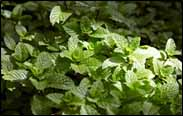 Muna, which at first glance resembles mint.