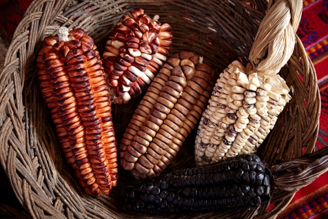 A sample of corn grown in the Sacred Valley