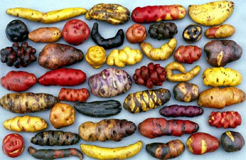 A beautiful and intriguing variety of oca and other andean tubers, variety is the spice of life!