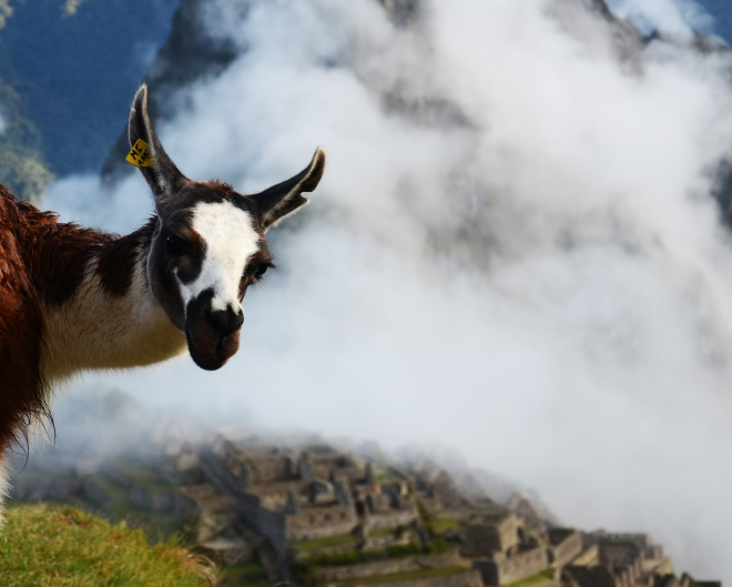Nosey llama, early morning misty clouds and Machu Picchu!!