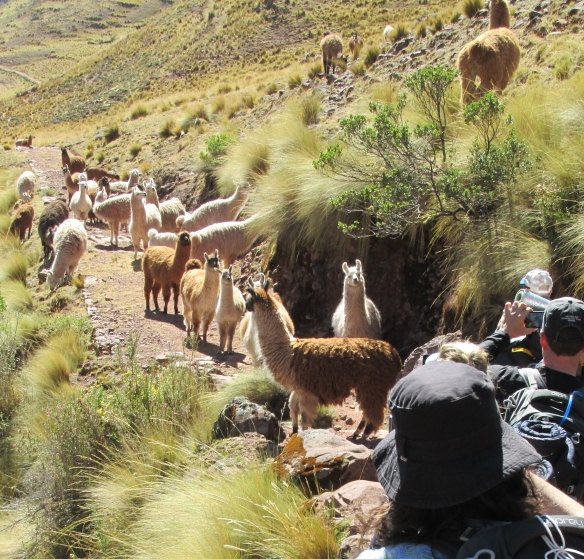 27 Llamas!!! 50 of them