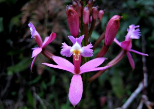 1Wiñay wayna orchid
