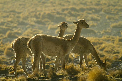 The 3 Vicuñas by Paulo Fassina licensed under CC BY 2.0