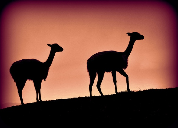 Vicuñas by Carine06 licensed under CC BY 2.0