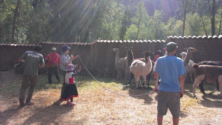 Large beautiful llamas