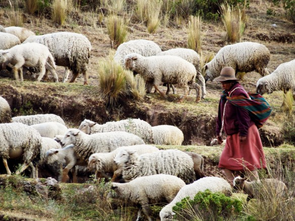 Sheep herding in the Andes